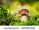 picking mushrooms and...   Shutterstock . vector #569081368