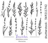 vector lavender hand drawn... | Shutterstock .eps vector #569211742