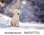 Stock photo golden retriever puppy outdoor on the snow in winter 569237722