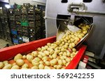 cleaned potatoes on a conveyor... | Shutterstock . vector #569242255