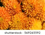Orange Chrysanthemum Flowers