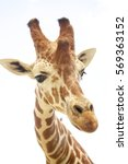 Giraffe Head Shot