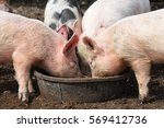 pigs eating out of trough  | Shutterstock . vector #569412736