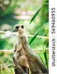 meerkat   Shutterstock . vector #569460955