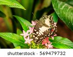 lime butterfly  papilio... | Shutterstock . vector #569479732