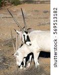 Small photo of Albino Oryx