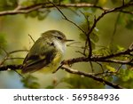 Small photo of Acanthisitta chloris - Rifleman - titipounamu female - endemic bird from New Zealand
