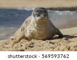 hawaiian monk seal    monachus...   Shutterstock . vector #569593762