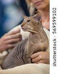peterbald portrait cat   owner | Shutterstock . vector #569599102