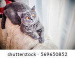Grey Cat  Scottish  Yellow Eyes