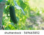 Cucumbers In A Garden In The...