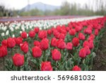 Kashmir Tulip Garden 4
