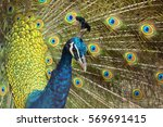 portrait of peacock with...   Shutterstock . vector #569691415