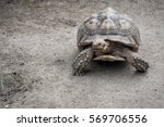 Small photo of Giant Aldabra tortoise (Aldabrachelys gigantea)