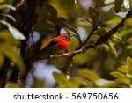 Small photo of Mrs. Gould's Sunbird (Aethopyga gouldiae) bird, Green background.