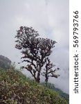 Small photo of Alpine Rose tree at Misty Kiw Mae Parn in the very cloudy skywith with soft focus at Doi Inthanon national park, Chiangmai, Thailand