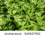 lettuce farm | Shutterstock . vector #569837902