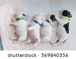 the baby french bulldog are... | Shutterstock . vector #569840356