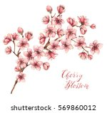 cherry blossom  watercolor... | Shutterstock . vector #569860012