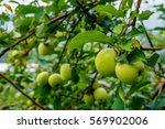 Green Apples Tree