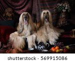 Purebred Afghan Hounds Dogs...