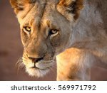 The Look Of A Lioness   Maybe...