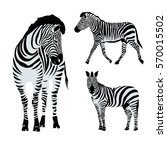zebra animal   vector ... | Shutterstock .eps vector #570015502