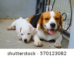 beagle and jack russell terrier