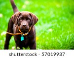 cute labrador puppy in green... | Shutterstock . vector #57019937