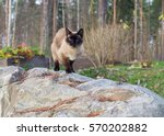 Stock photo siamese cat is walking outside on the cobbles 570202882