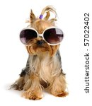 Stock photo yorkie in the glass 57022402