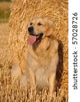 Golden Retriever And Straw Roll