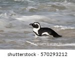 African Penguin Swimming In Th...