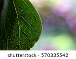 close up of a red bud tree leaf ... | Shutterstock . vector #570335542