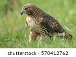 red tailed hawk | Shutterstock . vector #570412762