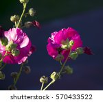 Small photo of Spectacular dainty tall magenta pink hollyhock Alcea, a genus of 60 species of flowering plants in mallow family Malvaceae flowering in summer adds old cottage garden beauty to an urban landscape.