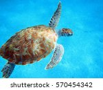 Small photo of Sea Turtle in Barbados