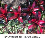 colorful of bromeliad garden ... | Shutterstock . vector #570668512