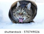 Stock photo funny cat photo a cat stretches out the tongue 570749026