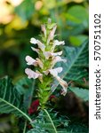 Small photo of Acanthus (plant)