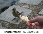Sparrow Eating Bread From Hand