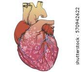 heart   anatomy picture   Shutterstock .eps vector #570942622
