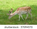 A Male Of Fallow Deer   Dama...