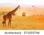 picture of beautiful giraffe at ... | Shutterstock . vector #571055746
