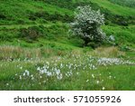 cotton grass and hawthorne tree ... | Shutterstock . vector #571055926