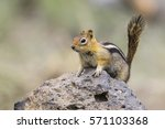 Golden Mantled Ground Squirrel...