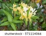 lonicera japonica thunb or... | Shutterstock . vector #571114066