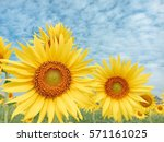 close up sunflower blooming and ... | Shutterstock . vector #571161025