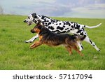 Stock photo dalmatian and terrier dog run together above the meadow 57117094