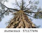 Dry Bark Of Pine Tree With Blu...